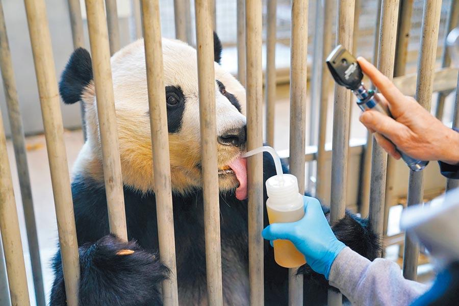 美國國家動物園工作人員為大熊貓「貝貝」體檢。(新華社資料照片)