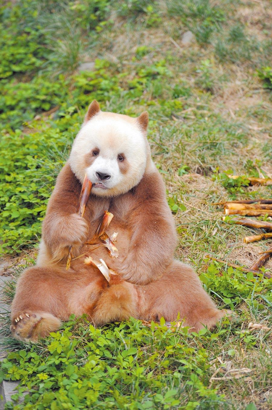 全球唯一圈養棕色大熊貓「七仔」在進食中。(新華社資料照片)