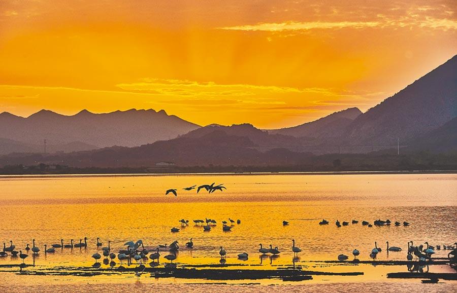 天鵝在鄱陽湖裡的畫面如夢如幻。(圖:許南平)