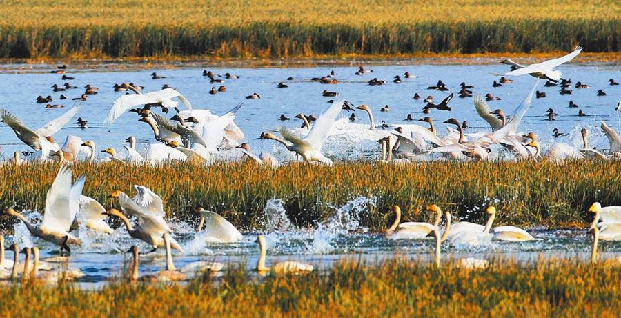 成群結隊的天鵝在鄱陽湖棲息。(圖:許南平)