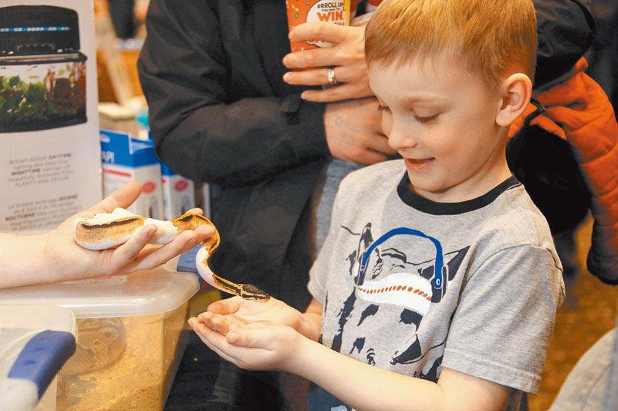 2月24日,在多倫多舉行的加拿大爬行動物博覽會上,一位男孩小心翼翼地接過一條小蛇,體驗「親密接觸」的感覺。(中新社)