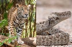 蟒蛇纏花豹決鬥 生死瞬間眾人驚呆