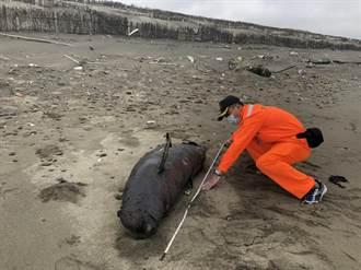 後龍外埔海寶溝沙灘 驚見罕見江豚屍