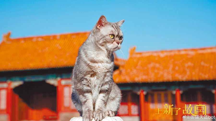 北京故宮博物院的文創綜藝《上新了,故宮》正夯,200隻「宮貓」最受歡迎。(取自微博@御貓說)