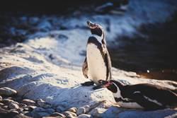 企鵝換毛照曝光!奇葩造型網笑翻