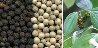 建立扇平胡椒園 林試所六龜試驗林有新「椒」點