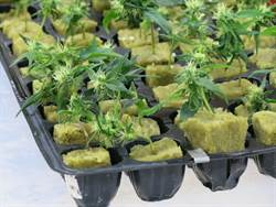 快評》大麻可以合法化嗎?