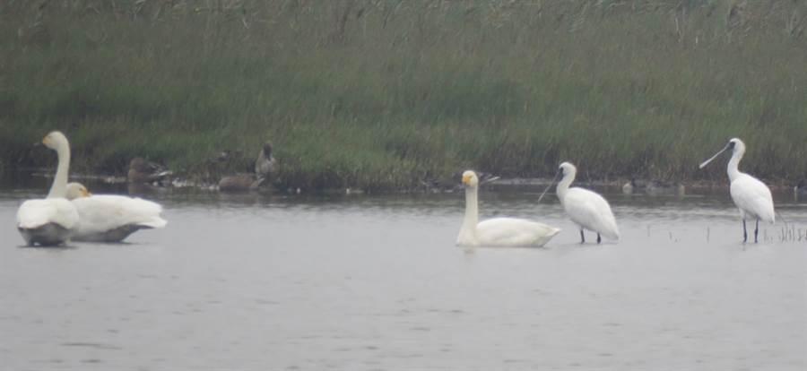 成龍溼地發現3隻小天鵝(左)與黑面琵鷺(右)一起覓食。(觀樹教育基金會提供/張朝欣雲林傳真)