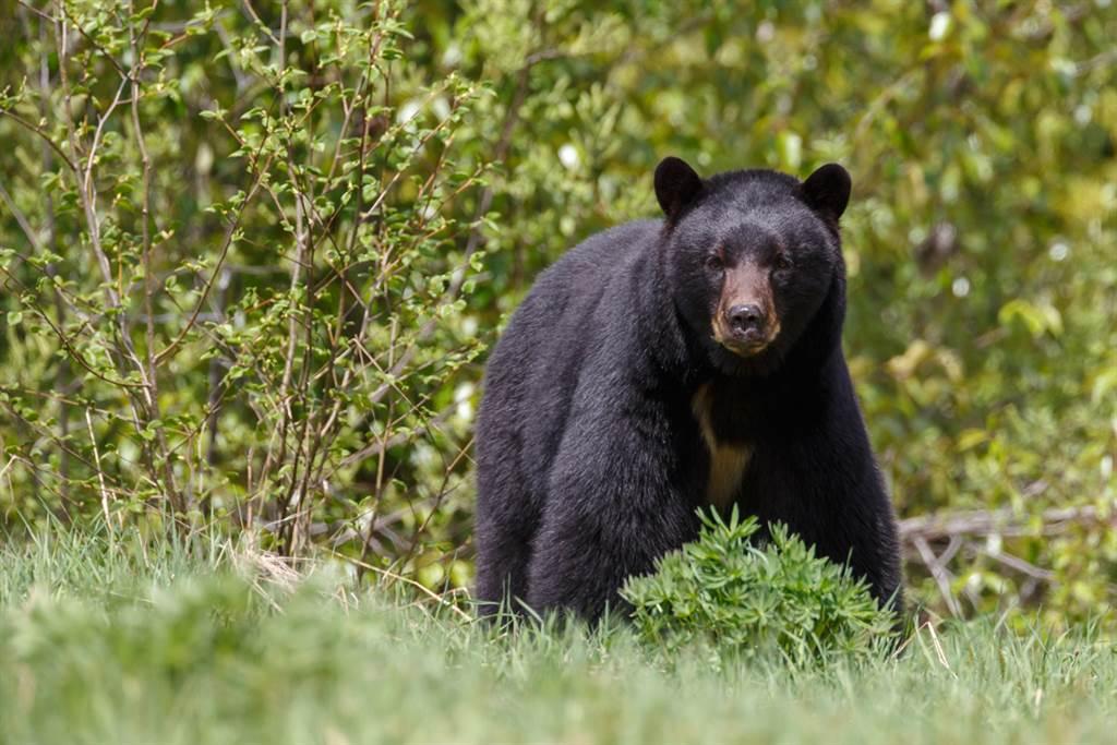 野生黑熊闖人群 下秒舉動眾人嚇壞(示意圖/達志影像)