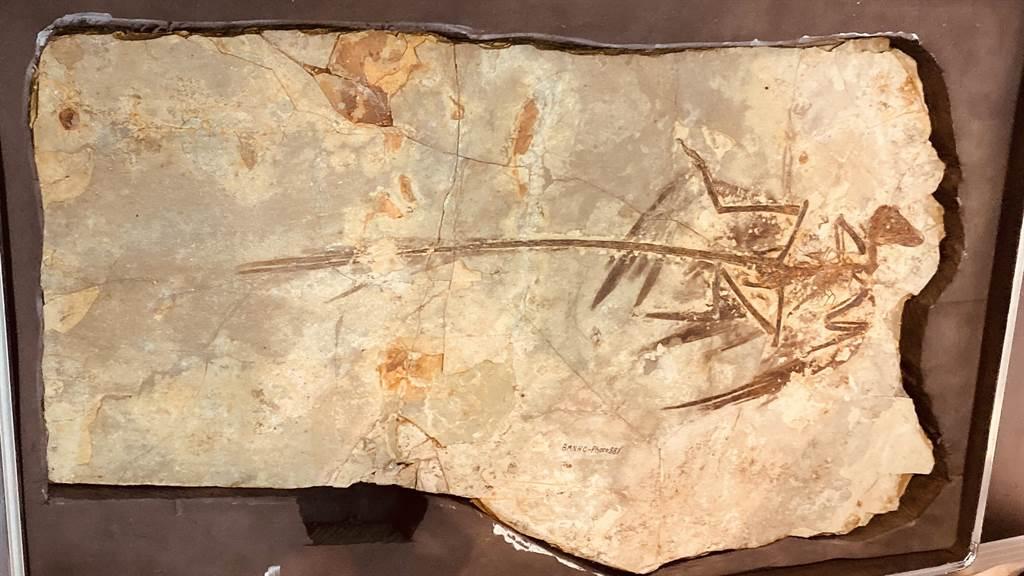 距今1.25億年前的珍稀化石標本「顧氏小盜龍」,在科博館「熱河生物群特展」展出。(陳淑芬攝)