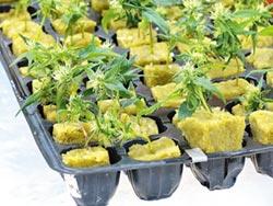 大麻可以合法化嗎?