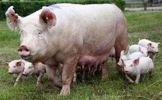 記者連線報水災 突闖母豬猛撞下體