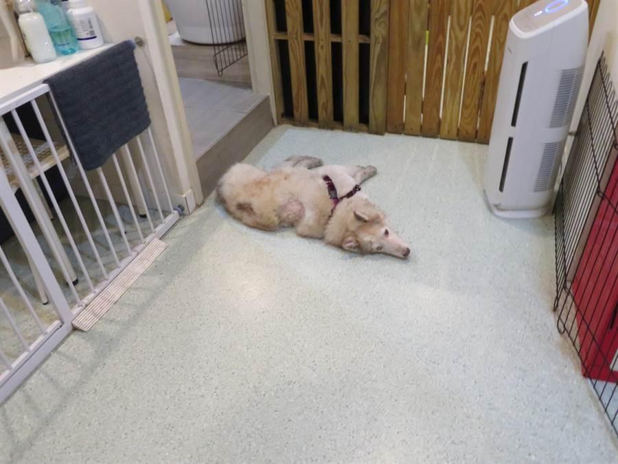 特定寵物業者優良店家提供適當的活動空間、管控舒適的溫溼度和使用空氣清淨機過濾空氣,給予寵物優良環境。(新北市動保處提供/譚宇哲新北傳真)