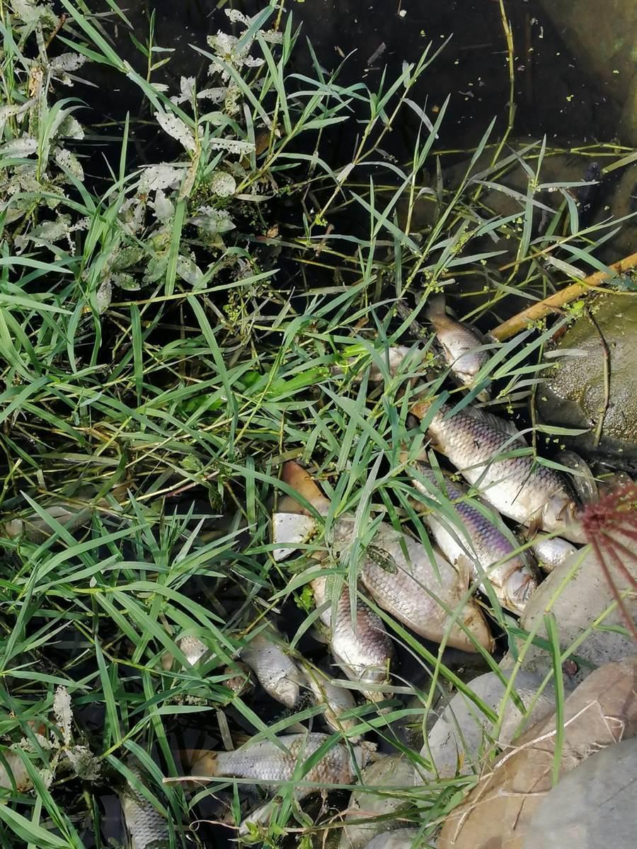 台中市霧峰區五福溪近幾日出現大量魚群死亡,地方控訴環保單位不清理,擔憂魚屍造成環境汙染。(市議員李天生提供/林欣儀台中傳真)