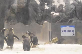 屏東海生館「企鵝幼兒園」開學 企鵝爸媽在外頭頻頻抬頭張望