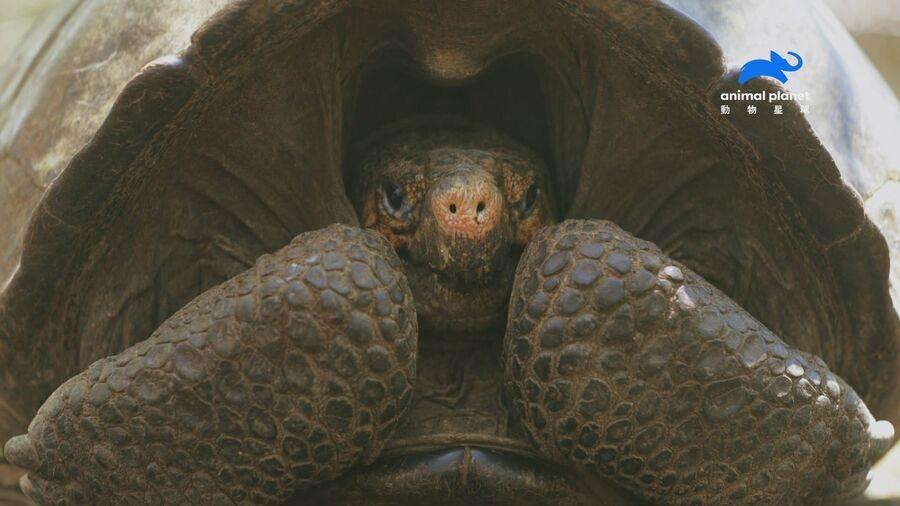 本世紀生態學上重大突破! 首度尋獲費南迪納巨陸龜。(動物星球頻道 提供)