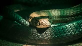 眼鏡蛇大戰巨蟒 生吞畫面超驚悚
