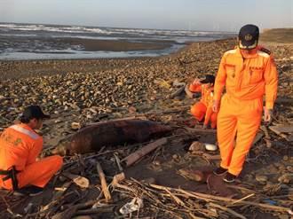 後龍海濱一月4起鯨豚綠蠵龜擱淺死亡