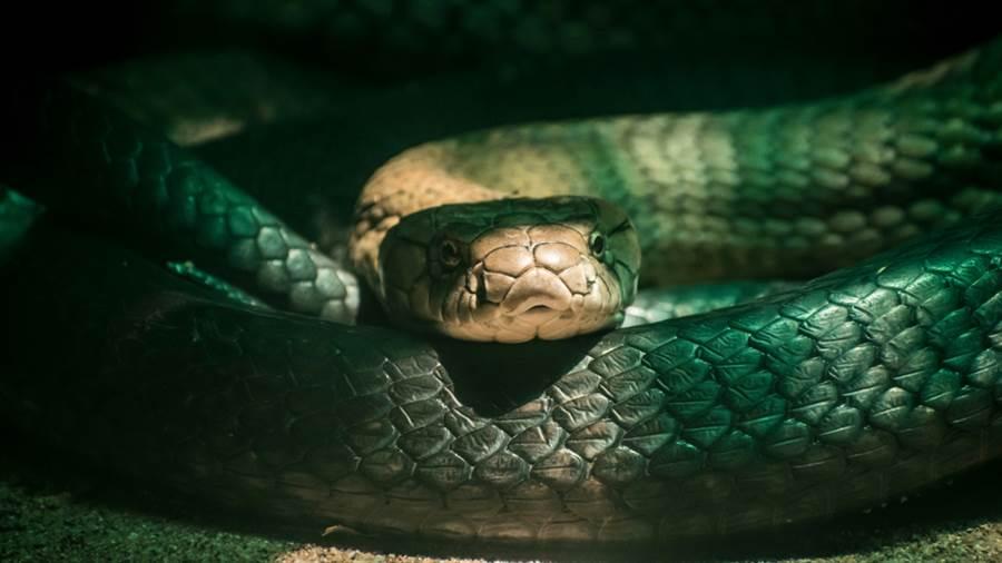 眼鏡蛇大戰巨蟒 生吞畫面超驚悚(示意圖/達志影像)