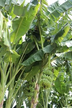 香蕉保險成效不彰 專家分析原因
