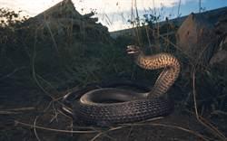 母子開車出遊 世界級毒蛇纏20公里