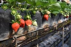 關西草莓提早2周入產季 嚐鮮可趁早