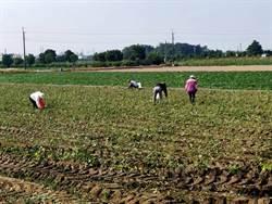 新市毛豆正值產季 一周內完成採收