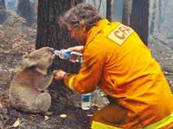 棲地浩劫 澳洲無尾熊被火紋身