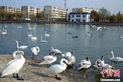 新疆庫爾勒市越冬禽鳥數量超往年同期