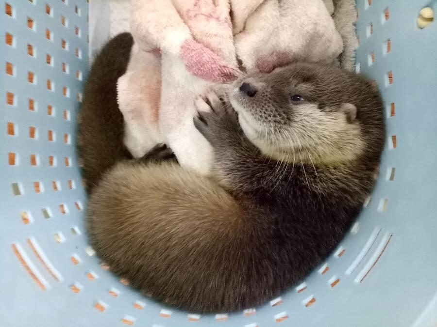 歐亞水獺寶寶飲食方面已逐漸適應。(台北市立動物園提供)