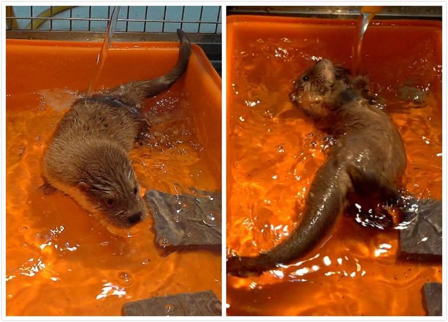 歐亞水獺寶寶水性很好。(台北市立動物園提供)