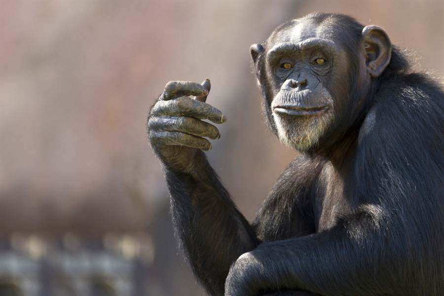 黑猩猩無師自通洗衣服 網友全看呆(示意圖/達志影像)