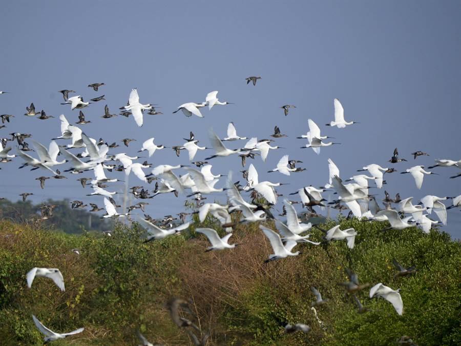 到台灣度冬的黑面琵鷺數量連續5年突破2000隻,大多棲息在嘉義、台南沿海一帶,目前七股保護區、頂山賞鳥亭、學甲溼地生態園區、四草野生動物保護區棲息的黑琵已經接近2500隻。(鳥友黃永豐提供/莊曜聰台南傳真)