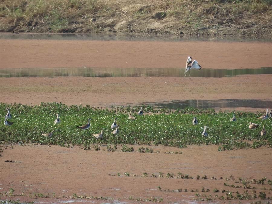台南市水雉冬季大調查結束,近80位鳥友志工共調查記錄到1741隻,打破歷年紀錄,光官田一帶就找到1466隻,鳥友在某處菱角田就發現超過300隻,大呼不可思議。(官田水雉教育園區提供/莊曜聰台南傳真)