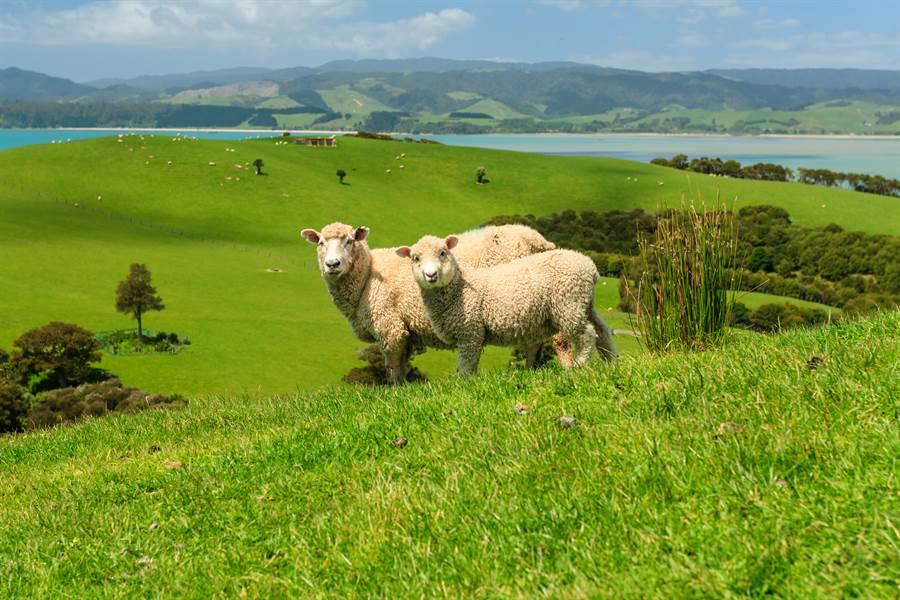 紐西蘭為實踐溫室氣體減排﹐將推出少屁環保羊。﹙圖Shutterstock)