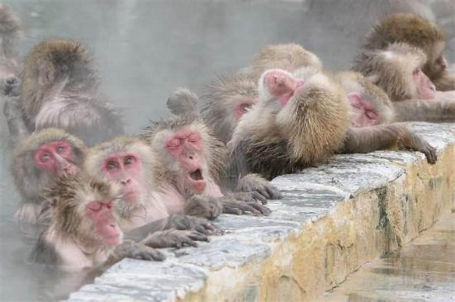 位於日本北海道函館市的獼猴溫泉於12月1日開始,也宣告寒冷的冬季已完全降臨。(圖/新華社)
