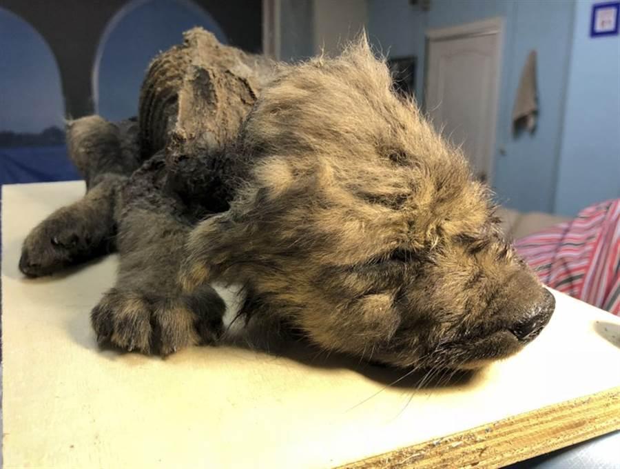 西伯利亞永凍土發現一隻冰凍小狗,毛皮保存完整。(圖/美聯社)