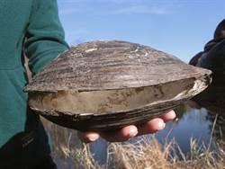 驚人!陸巨大蚌殼入侵美遭滅族