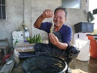誤打誤撞用「克菲爾乳酸菌」養白蝦 竟讓蝦長得頭好壯壯