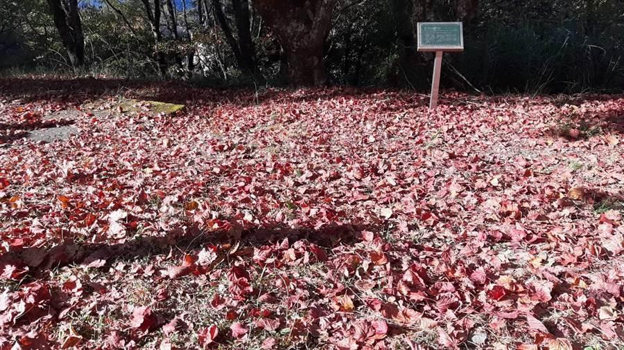 大雪山的楓葉轉紅飄落地面,堆積成紅葉地毯。(東勢林管處提供/王文吉台中傳真)