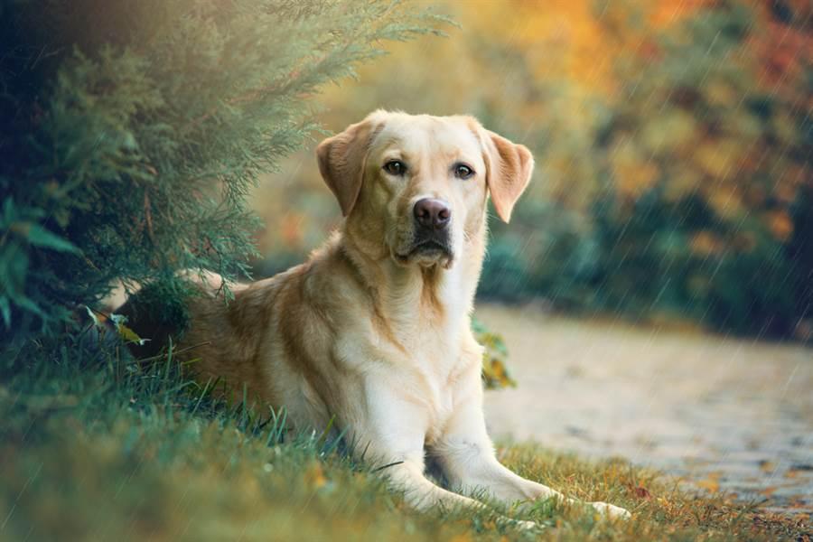 農夫在愛犬身上畫虎紋 效果超驚人(示意圖/達志影像)