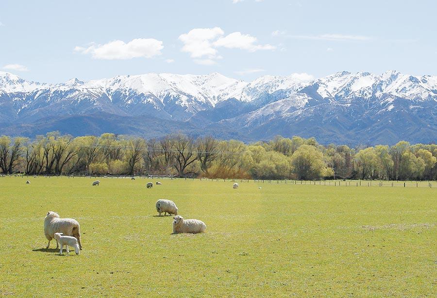 紐西蘭科學家將開發「少屁羊」,以降低該國羊群排放的溫室氣體。圖為紐西蘭當地放牧的綿羊。(美聯社)