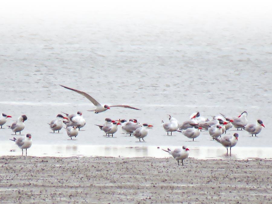 時序入冬,雲嘉南沿海一帶候鳥生態豐富,民眾可利用假期安排行程賞鳥。(雲嘉南濱海國家風景區管理處提供/莊曜聰台南傳真)