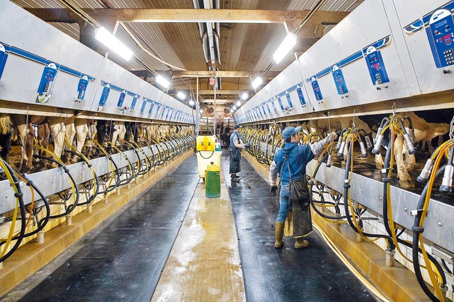 美國酪農期盼中美貿易爭端早日解決。圖為10月16日,美國愛荷華州工人為乳牛擠奶。(新華社)