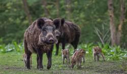 德國特殊搜索犬專尋野豬屍體 防非洲豬瘟