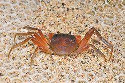 墾丁再發現8種新陸蟹
