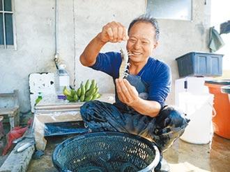 用乳酸菌餵養 白蝦變強壯