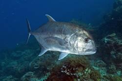巨魚突從水面躍起 血盆大口生吞鳥