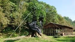 嘉縣》半年前遭竊百年茄苳 觸口樹木園區重生