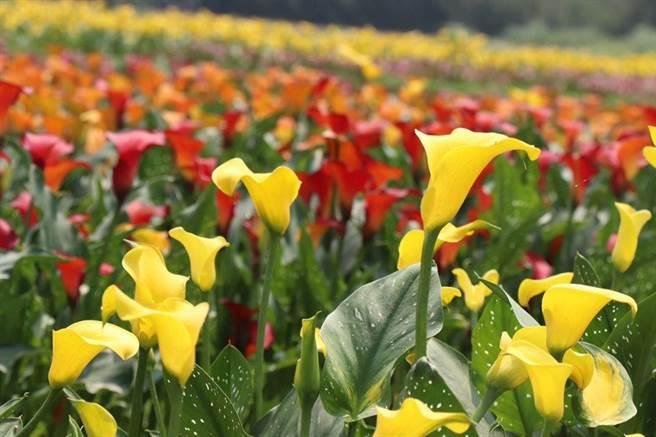桃園彩色海芋季遭議員質疑,採用國外種球,沒有照顧到台灣的農民,要求明年要使用國產花卉植物為主。(桃園市農業局提供/甘嘉雯桃園傳真)